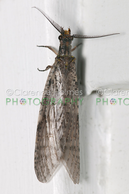 Spring Fishfly (Chauliodes rastricornis) - Male, West Harrison, Westchester County, New York
