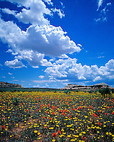 Summer Wildflower Field of Globe Mallow and Cryptanth, Lisbon Valley, Utah