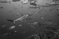 Scalloped hammerhead sharks swim through a school of jack fish at Cocos Island off the coast of Costa Rica.