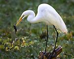 Snowy egret eats fish, Audubon Corkscrew Swamp Sanctuary, Flordia