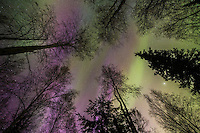 The aurora borealis over the boreal forest of Fairbanks, Alaska.