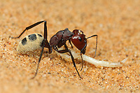 Dune Ant with insect larva prey on a Namib Desert sand dune (Camponotus detritus), Namibia.