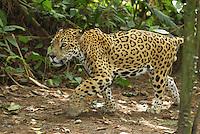 Jaguar (Panthera onca), walking, Belize