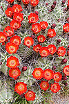 Claret cup cactus (Echinocereus triglochidiatus) in bloom.  Big Bend National Park, Texas.
