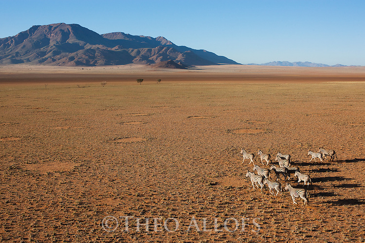 Namibia, Namib Desert, Namibrand Nature Reserve, aerial of running zebra herd in desert (Equus burchelli) across plain covered with fairy circles. They are believed to be caused by termites.