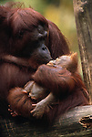 Bornean orangutan with infant, Tanjung Puting National Park, Borneo, Indonesia