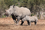 Dehorned white rhino (Ceratotherium simum) with calf, Mauricedale game ranch, Mpumalanga, South Africa, June 2012