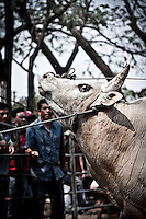 """Bull is prepared to fighting. Widely spread in Asia, the bull fighting is one of the most famous """"games"""" for entertainment. During weeks the bulls are trained to face every end of the month a new encounter, when the owners and fans are betting a lot of money. The """"game"""" gives an enormous amount of fun to many people as well."""