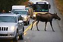 Alaska, Denali National Park, cow moose crossing road in between tourist vehicles