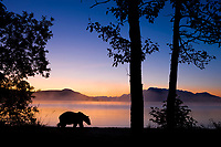 DIGITAL COMPOSITE: Brown bear walks along the shores of Naknek lake at dawn, Kejulik mountains, Katmai National Park, Alaska.