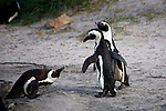 Africa, South Africa, Simons Town, Boulders Beach. African Penguin trio at Boulders Beach near Simons Town on False Bay.