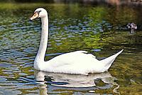A beautiful swan in the lake Beletsi