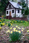 Daffodils and a hut insde the C.W. Nicol Afan Woodland Trust, native woodland that Nicol began buying up 25 years ago, near his home in Kurohime, Nagano Prefecture, Japan on 10 May 2010..Photographer: Robert Gilhooly