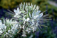 White cleome closeup, annual flowers, spider flower