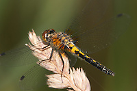 Frosted Whiteface (Leucorrhinia frigida) Dragonfly - Female, Promised Land State Park, Greentown, Pike County, Pennsylvania