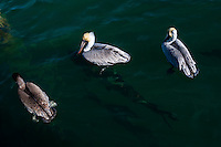 US, Florida, Key West. Pelicans, large tarpon's beneath the surface.