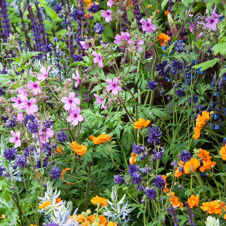 Pink Geranium palmatum, orange Geum 'Princess Juliana' and Aquilegia 'Blue Barlow'. Morgan Stanley Healthy Cities Garden designed by Chris Beardshaw, RHS Chelsea Flower Show 2015.