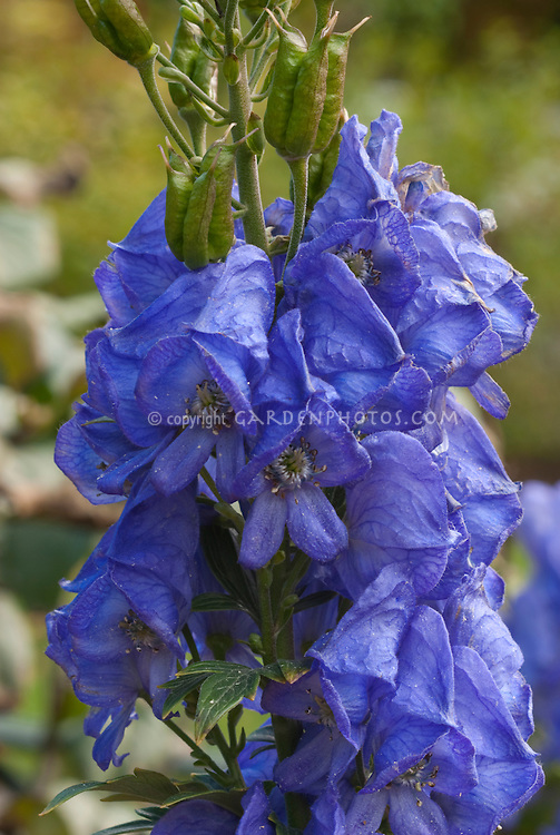 Blue flowers of autumn flowering perennial monkshood, Aconitum carmichaelii Royal Flush