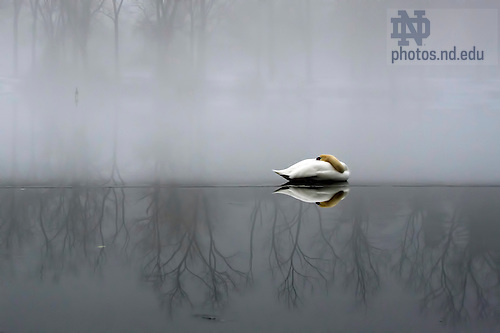 January 17, 2012; A swan sleeps on a thin layer of ice as heavy fog envelopes St. Mary's Lake mid-morning. Photo by Barbara Johnston/University of Notre Dame