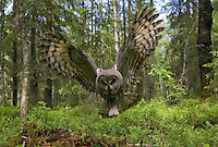 Great grey owl (strix nebulosa) in flight in boreal forest, Oulu, Finland.