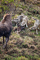 Cow moose attempts to chase wolves from feeding on her calf that was just killed by the Grant Creek wolf pack in Denali National Park, Alaska.