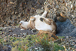 A puma rest beneath the rocky cliff face in Patagonia, Chile.