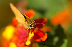 Fiery Skipper on Lantana, Hylephila phyleus, Southern California