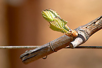 bud burst on the vine chardonnay le montrachet puligny-montrachet cote de beaune burgundy france