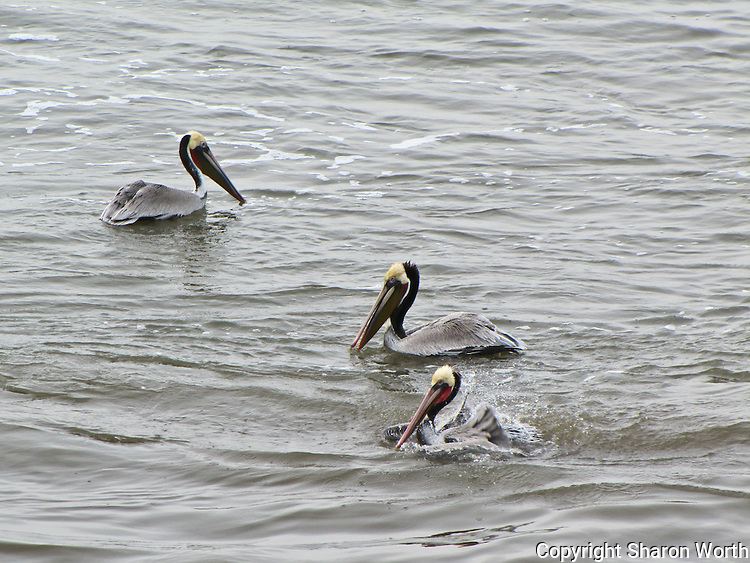 Brown pelicans paddle and splash in the water where San Gregorio Creek empties into the Pacific Ocean at San Gregorio State Park, California.
