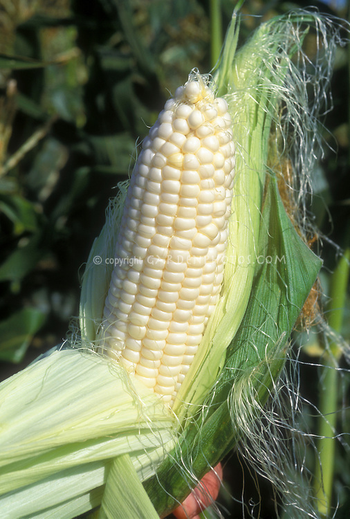 Corn Silver Queen sweet white corn showing ear of corn and corn silks, freshly picked