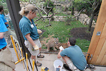 Philadelphia Zoo, Big Cat Falls, trainers working with young lions..Philadelphia, Pennsylvania, PA USA.  Photo copyright Lee Foster, 510-549-2202, lee@fostertravel.com, www.fostertravel.com. Photo 250-30632
