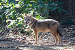 Golden Jackal, Canis aureus, in woodland, Corbett National Park, Uttarakhand, Northern India.India....