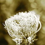 Macro of Queen Anne's Lace, or wild carrot, after blooming and withering into a bird's nest shape. Herb (Daucus Carota), with shallow depth of focus of front of umbel or inflorescence, or clusters, classified in the division Magnoliophyta , class Magnoliopsida, order Apiales, family Umbelliferae or Apiaceae. This biennial weed is a mild allergen, is used in medicine, is a souce of food for honey bees, and attracts butterflies.
