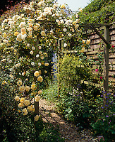 A yellow rose in full bloom growing over a wooden pergola
