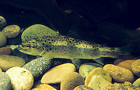Bachforelle, Steinforelle, Jungtier, Forelle, Salmo trutta fario, brook trout, omble de fontaine