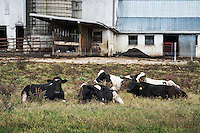 Cattle herd laying in a field, Lancaster, Pennsylvania, USA