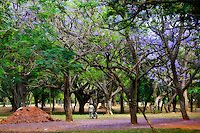 A man wheels his bicycle under the Purple Jacaranda trees in Cubbon Park, Bangalore, India