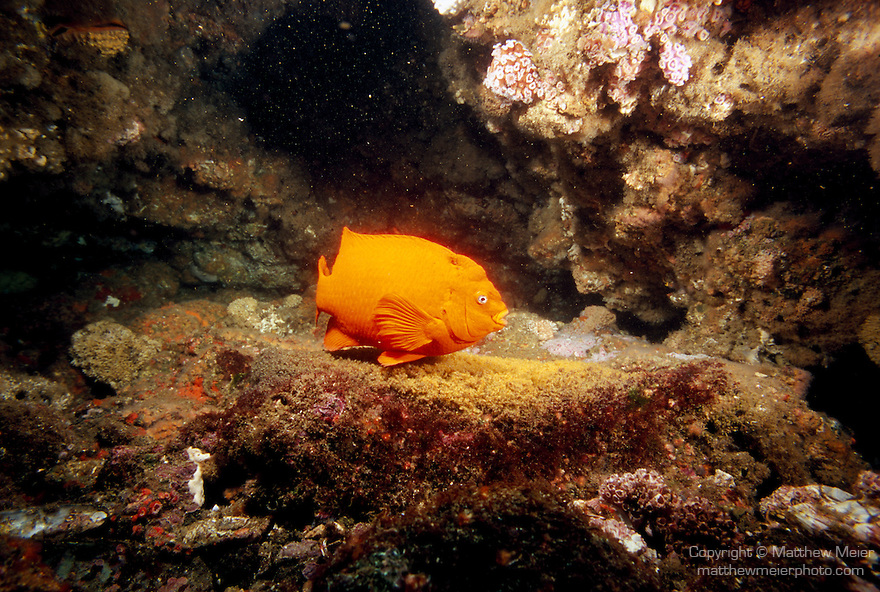 Santa Cruz Island, Channel Islands National Park and National Marine Sanctuary, California; a large, male Garibaldi (Hypsypops rubicundus) fish swims over it's nest of eggs for protection and circulation , Copyright © Matthew Meier, matthewmeierphoto.com All Rights Reserved
