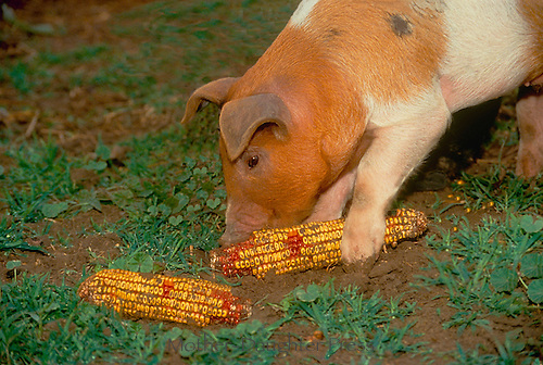 4-way cross hybrid pig eating indian corn, Midwest USA