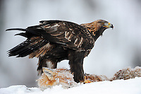 Golden eagle, Aquila chrysaetos, in Flatanger, Nord-Trøndelag, Norway.Eating on a dead fox at an eagle-watching, ecotourism site.