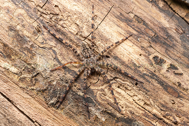 A Fishing Spider (Dolomedes tenebrosus) waits for prey on the side of a fallen dead tree.