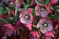 Helleborus orientalis hybrid hellebore with pink flowers