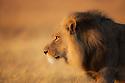 Botswana, Chobe National Park, Savuti, male lion (Panthera leo) walking in grass savannah early morning, close-up, side view, portrait