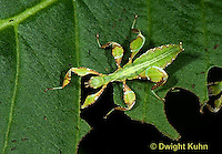 OR14-5131z  Leaf Insect female, Phyllium spp., Phillipines