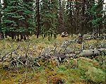 A bull moose lays in the grassy floor of a forest resting in Denali National Park, Alaska.