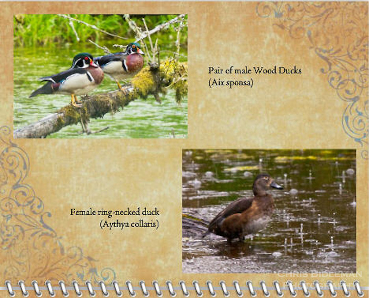 2015 Calendar - Birds of a Feather with photography by Chris Bidleman.<br /> Pair of Wood Ducks (Aix sponsa) standing on moss covered log in the Ridgefield National Wildlife Reserve.