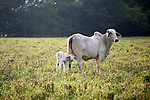 Central America, Latin America, Costa Rica. Pastures and cows on road from Puerto Jiminez to Lapa Rios in the Corcovado Peninsula.