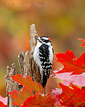 Downy Woodpecker (Picoides pubescens) male in autumn, New York, USA