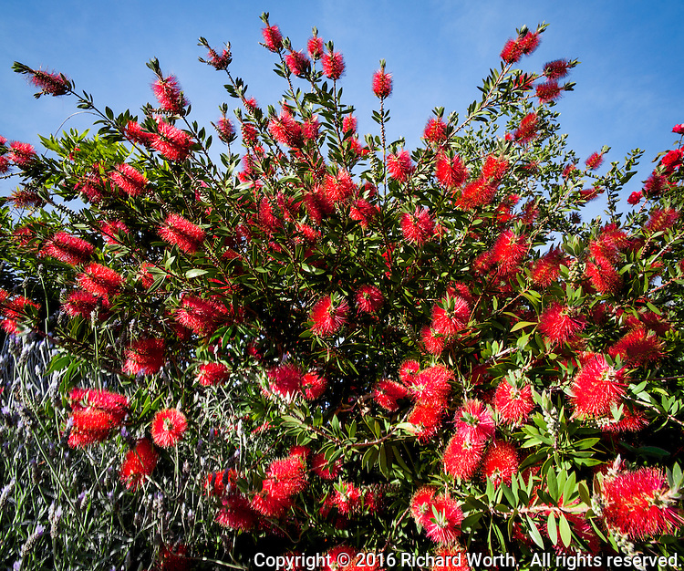 An explosion of red flowers flies from a Bottlebrush tree under a blue California sky.
