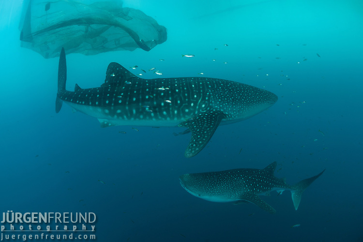 Whale shark at bagan jurgen freund for Freund s fish